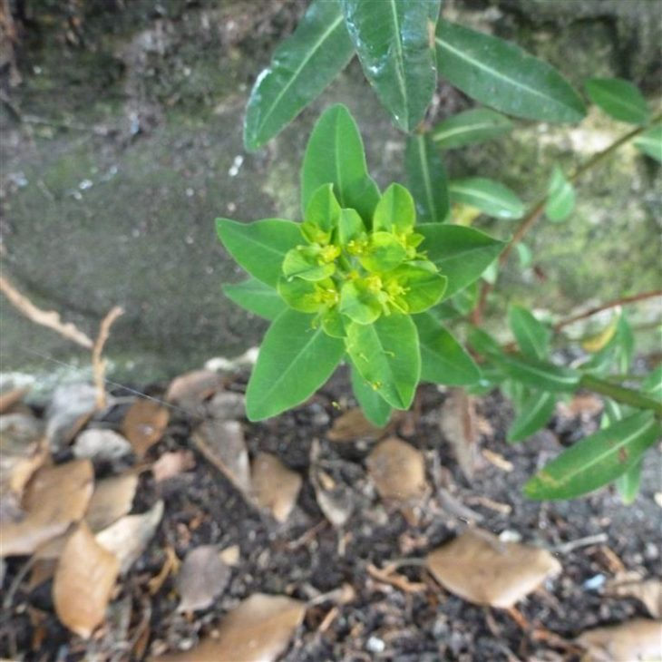 Picture of Euphorbia platyphyllos (Broad-leaved Spurge)