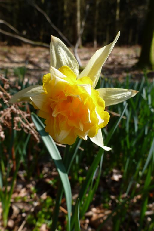 Picture of Narcissus pseudonarcissus flore pleno