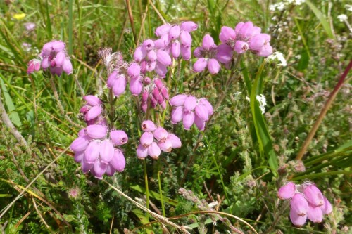 Picture of Erica tetralix (Cross-leaved Heath)