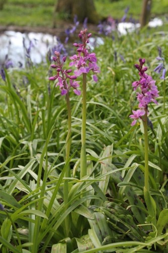 Picture of Orchis mascula (Early-purple Orchid)