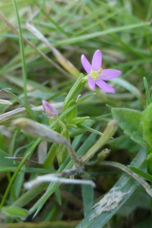 Picture of Centaurium pulchellum (Lesser Centaury)