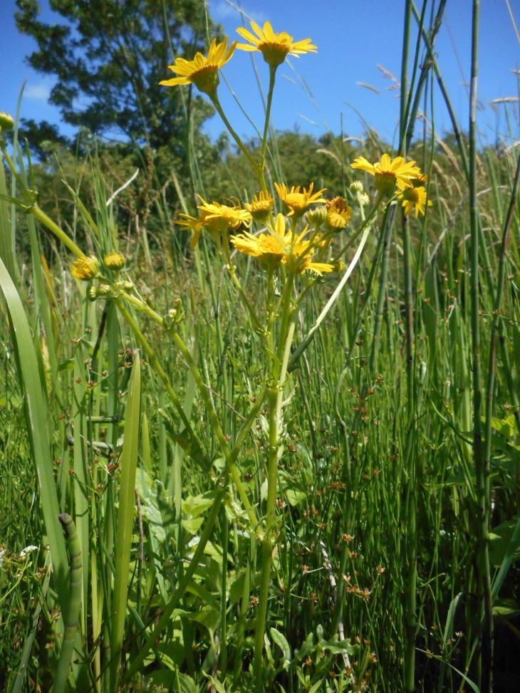 Picture of Marsh Ragwort (Senecio aquaticus). Photo: Helen Proctor