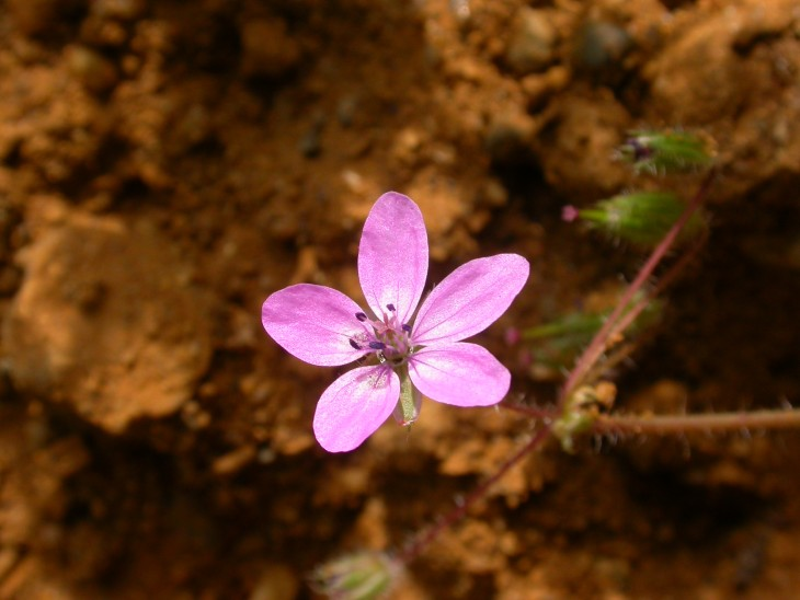 Picture of Common Stork's-bill (Erodium cicutarium)