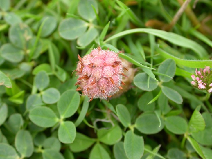 Picture of Strawberry Clover (Trifolium fragiferum). Photo: Brad Scott