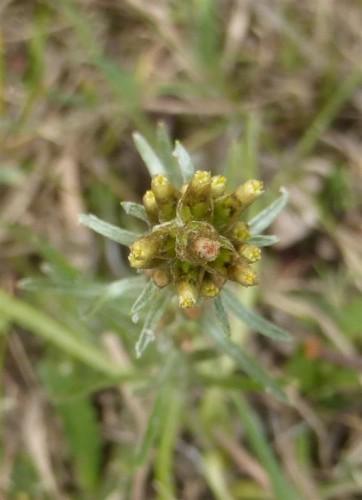 Picture of Gnaphalium sylvaticum (Heath Cudweed)