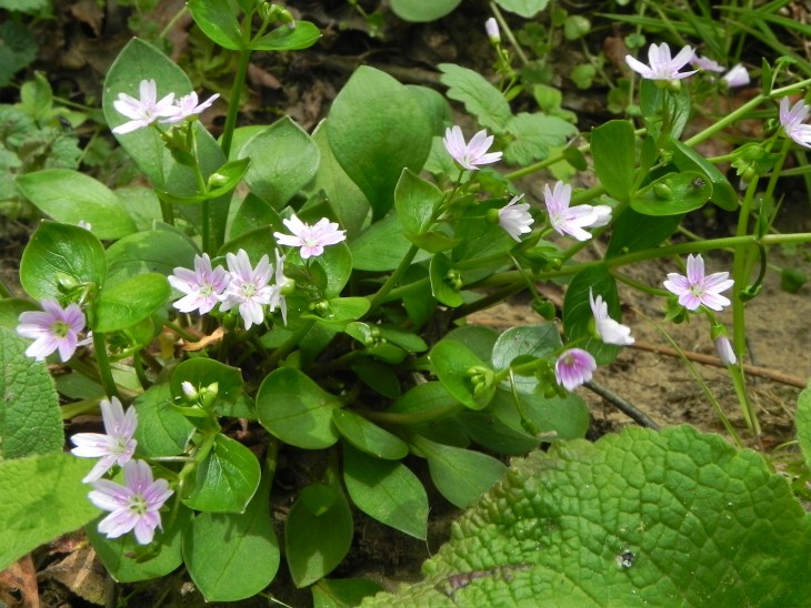 Picture of Pink Purslane (Montia sibirica)