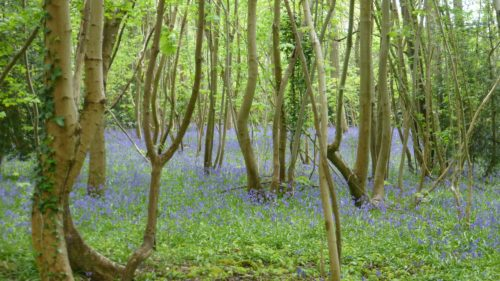 Picture of Hyacinthoides non-scripta (Bluebell)
