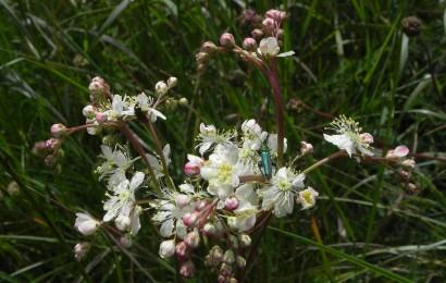 Picture of Dropwort (Filipendula vulgaris)
