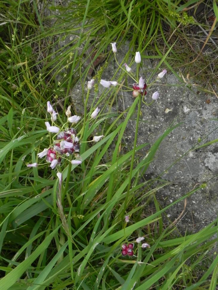 Picture of Rosy Garlic (Allium roseum)