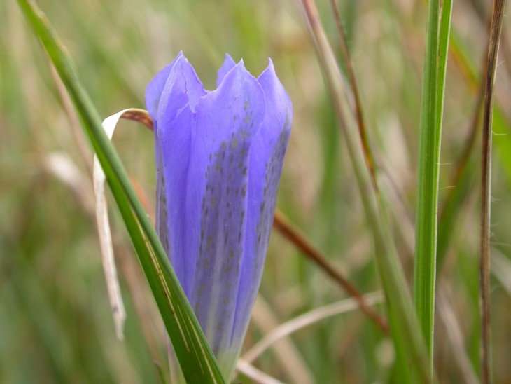 Picture of Marsh Gentian (Gentiana pneumonanthe). Photo: Brad Scott
