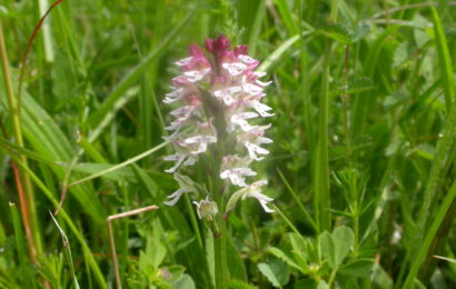 Picture of Neotinea ustulata (Burnt Orchid)