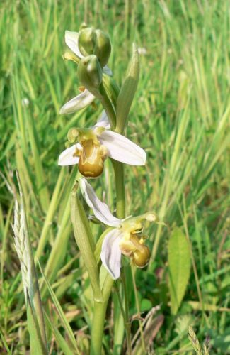 Picture of Ophrys apifera var chlorantha