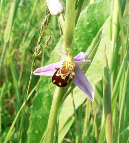 Picture of Ophrys apifera (Bee Orchid)