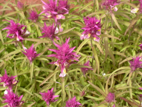 Picture f Melampyrum cristatum (Crested Cow-wheat)
