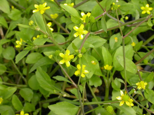 Picture of Ranunculus ophioglossifolius (Adder's-tongue Spearwort)