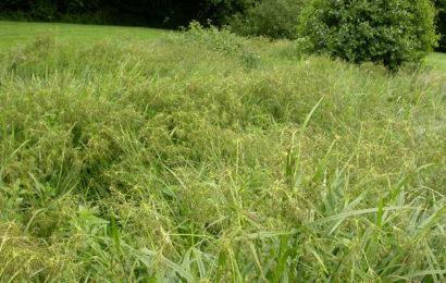 Picture of Scirpus sylvaticus (Wood Club-rush)