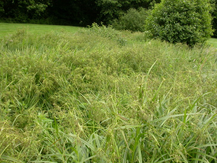 Picture of Scirpus sylvaticus (Wood Club-rush)