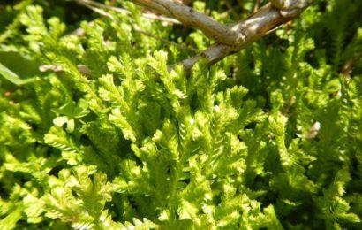 Picture of Selaginella kraussiana (Krauss's Clubmoss)