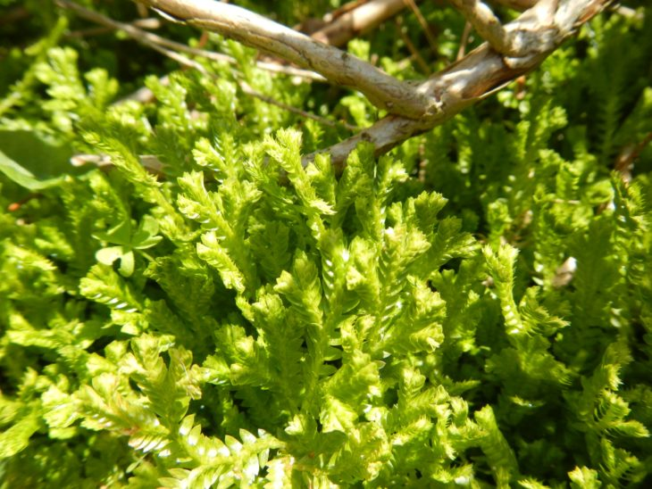 Picture of Selaginella kraussiana (Krauss's Clubmoss)