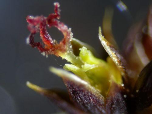 Picture of Juncus acutiflorus (Sharp-flowered Rush)