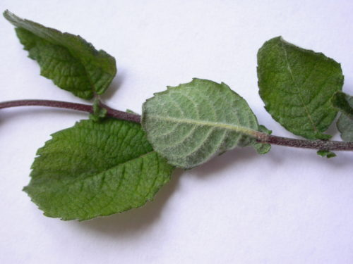 Picture of Salix aurita (Eared Willow)