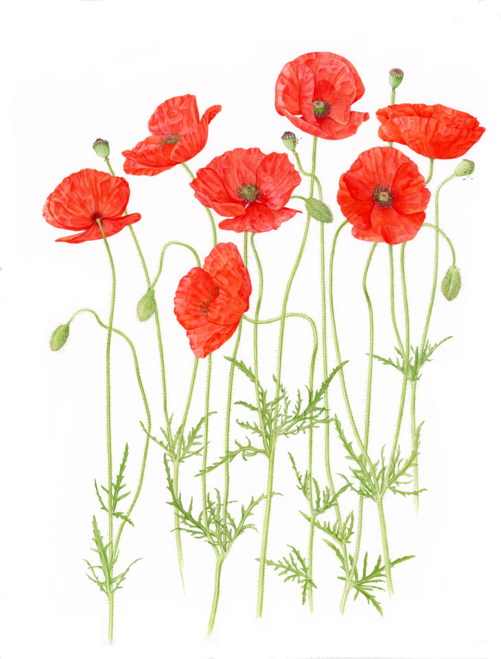 Drawing of Poppies by Christina Hart-Davies