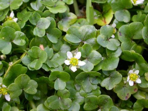 Picture of Ranunculus hederaceus (Ivy-leaved Water Crowfoot)