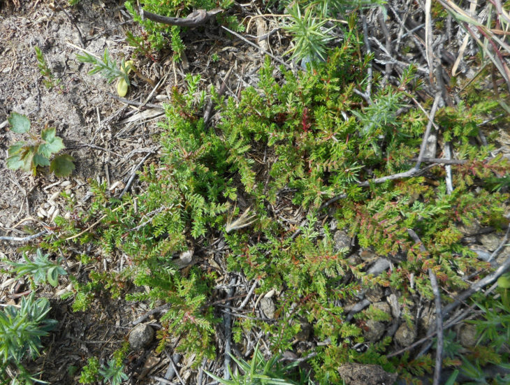 Picture of Calluna vulgaris (Heather)