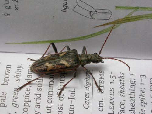 Picture of Rhagium bifasciatum (Two-banded Longhorn Beetle)