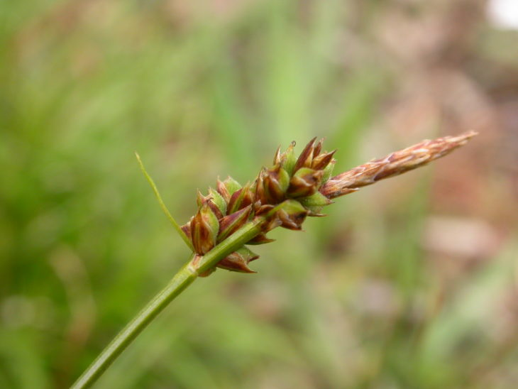 Picture of Carex pilulifera (Pill Sedge)