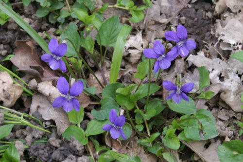 Picture of Viola riviniana (Common Dog-violet)