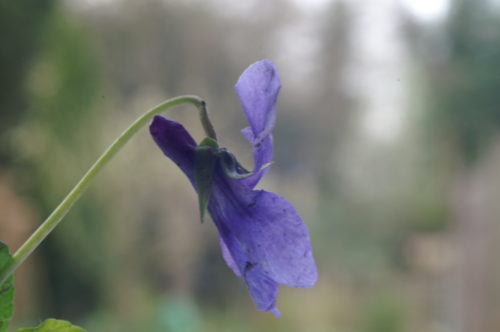 Picture of Viola reichenbachiana (Early Dog-violet)