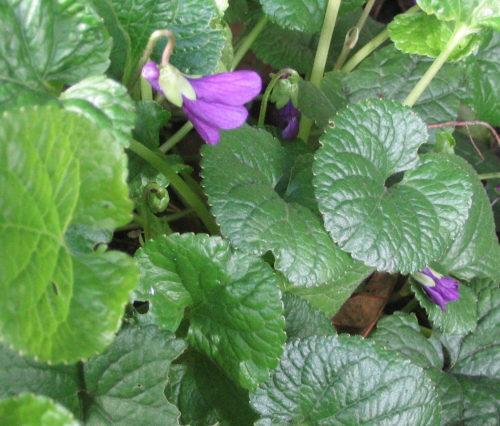 Picture of Viola odorata var. praecox (Sweet Violet)
