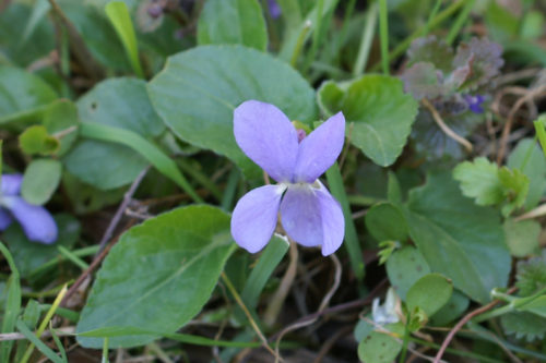 Picture of Viola hirta (Hairy Violet)