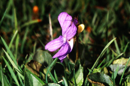 Picture of Viola canina (Heath Violet)