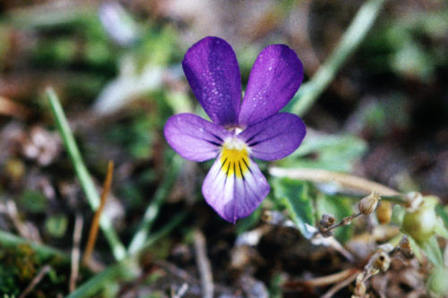 Picture of Viola tricolor subsp. tricolor (Wild Pansy)