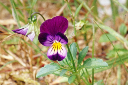 Picture of Viola x wittrockiana (Garden Pansy)