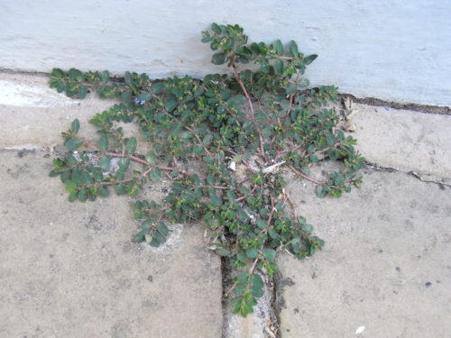 Picture of Euphorbia prostrata