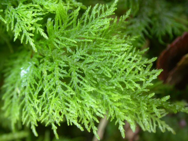 Picture of Thuidium tamariscinum