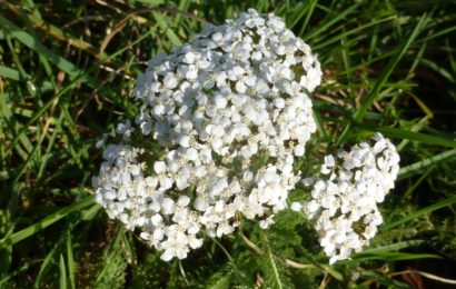 Picture of Achillea millifolium