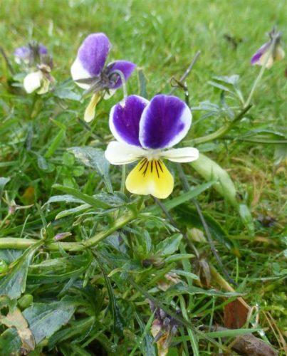 Picture of Viola tricolor