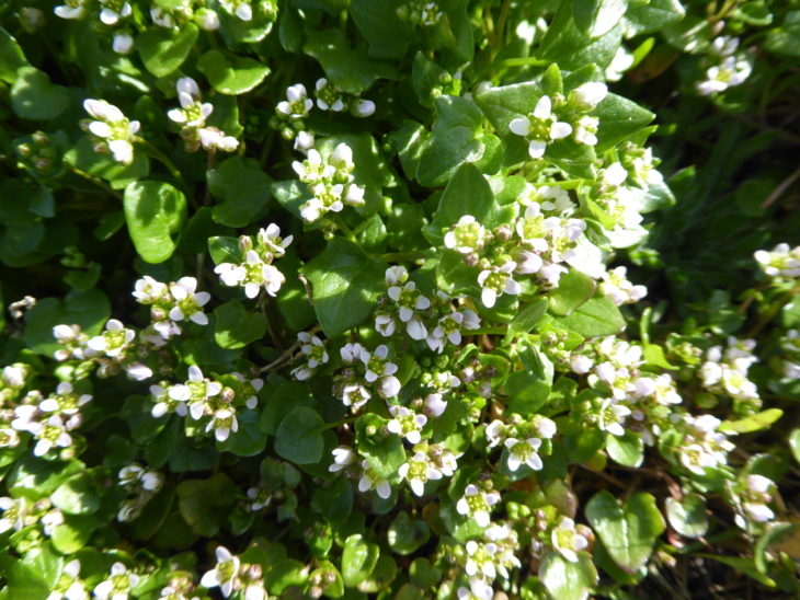 Picture of Cochlearica danica (Danish Scurvygrass)