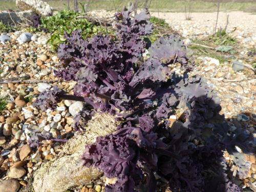 Picture of Crambe maritima (Sea-kale)
