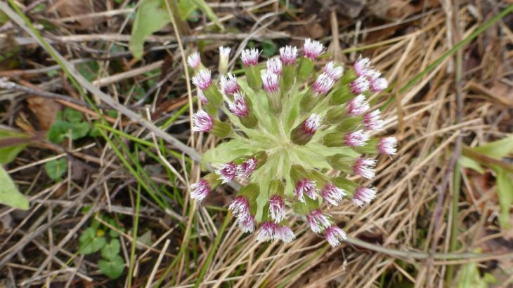 Picture of Petasites japonicus × fragrans, Borde Hill