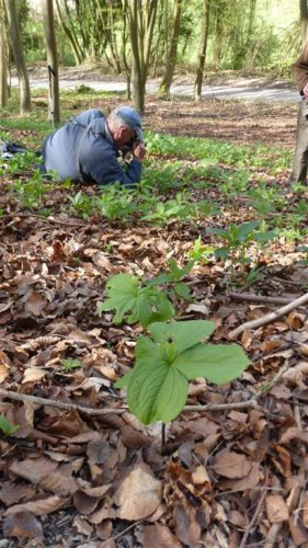 Picture of Paris quadrifolia (Herb Paris)