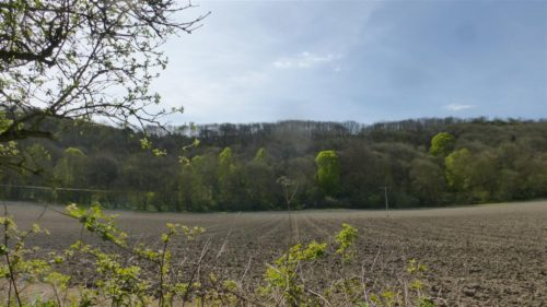 Picture of Tilia platyphyllos (Large-leaved Limes)