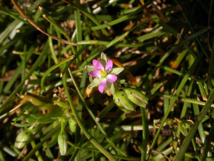 Picture of Spergularia rubra (Sand Spurrey)