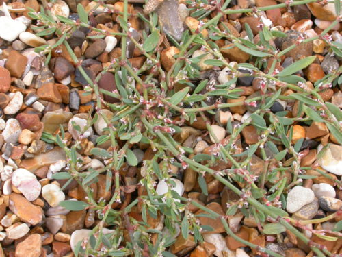 Picture of Polygonum oxyspermum ssp. raii  (Ray's Knotgrass)