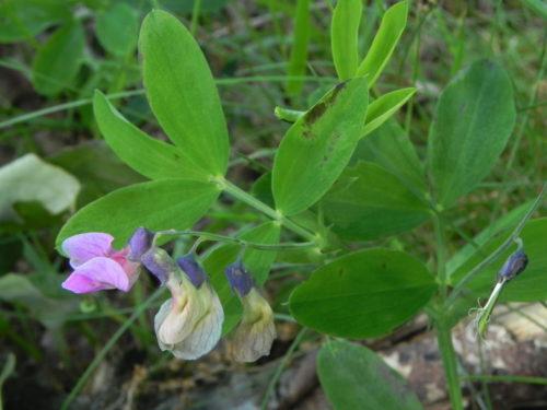 Picture of Lathyrus linifolius (Bitter Vetch)