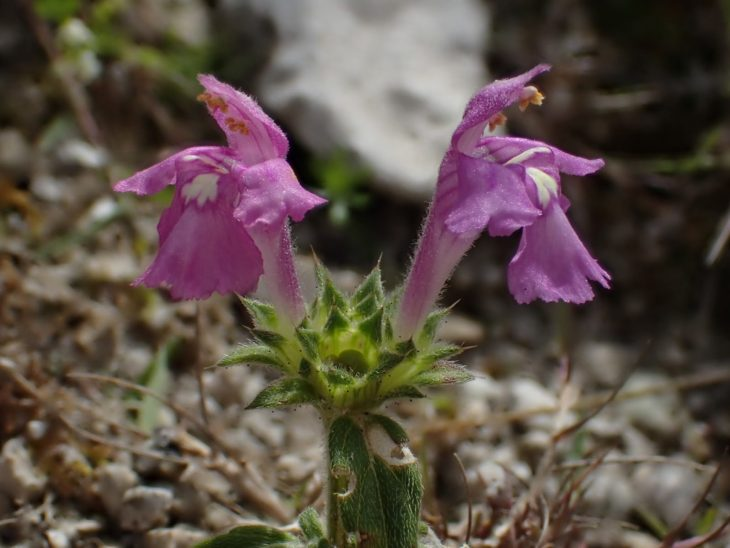 Picture of Red Hemp-nettle (Galeopsis angustifolia)
